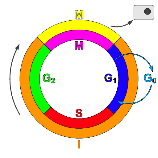 https://upload.wikimedia.org/wikipedia/commons/2/22/Cell_Cycle_2.png