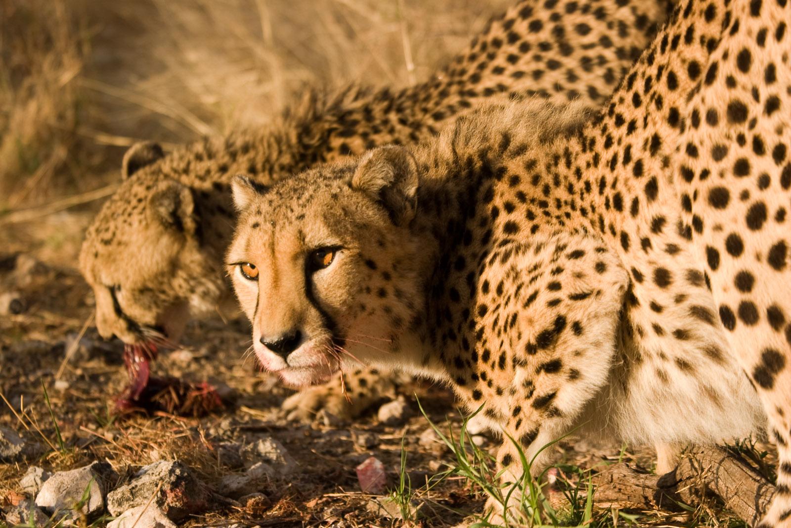 file cheetahs eating 3685505274 jpg wikimedia commons