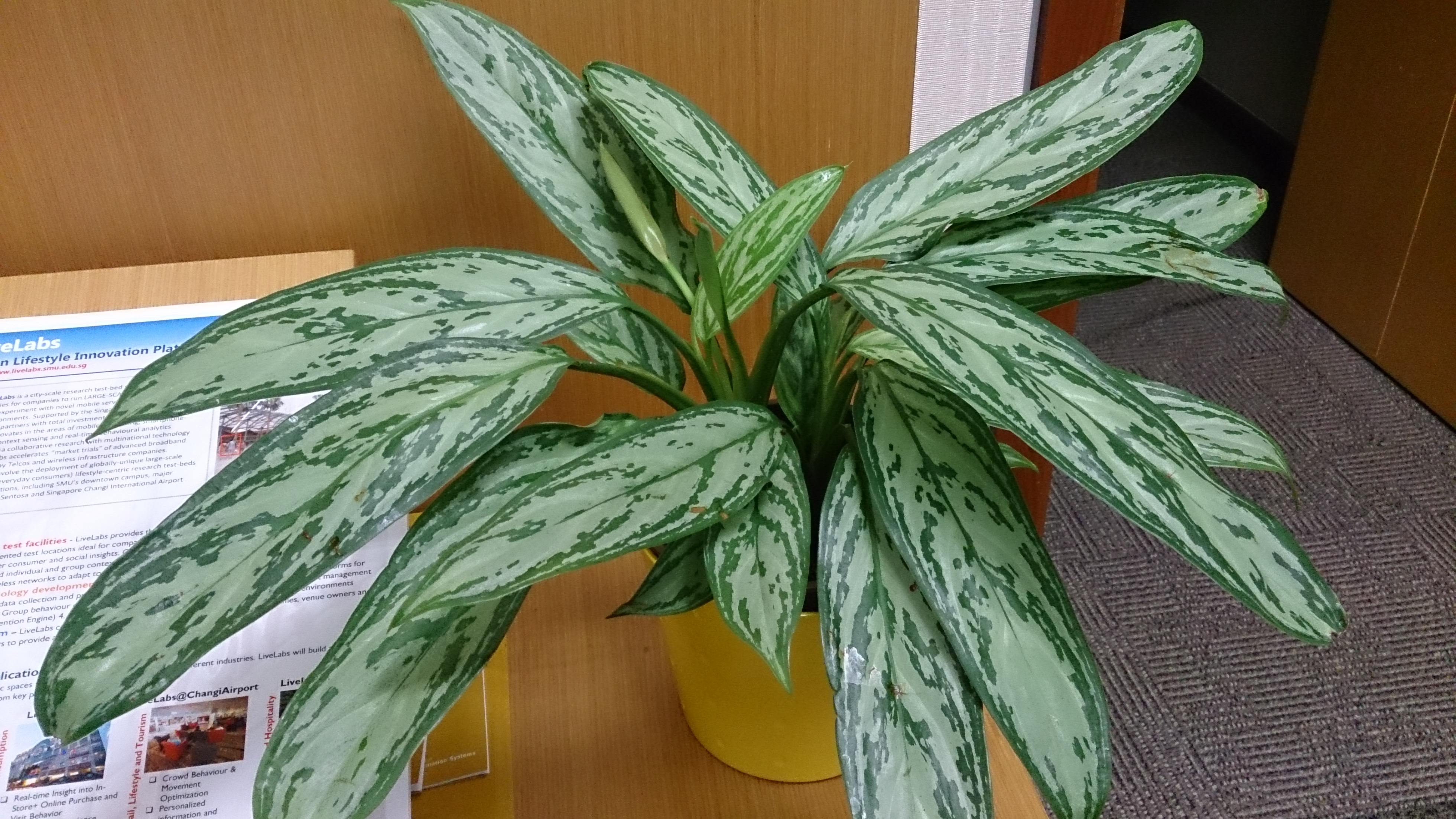 File Chinese Evergreen Aglaonema nitidum Silver Queen