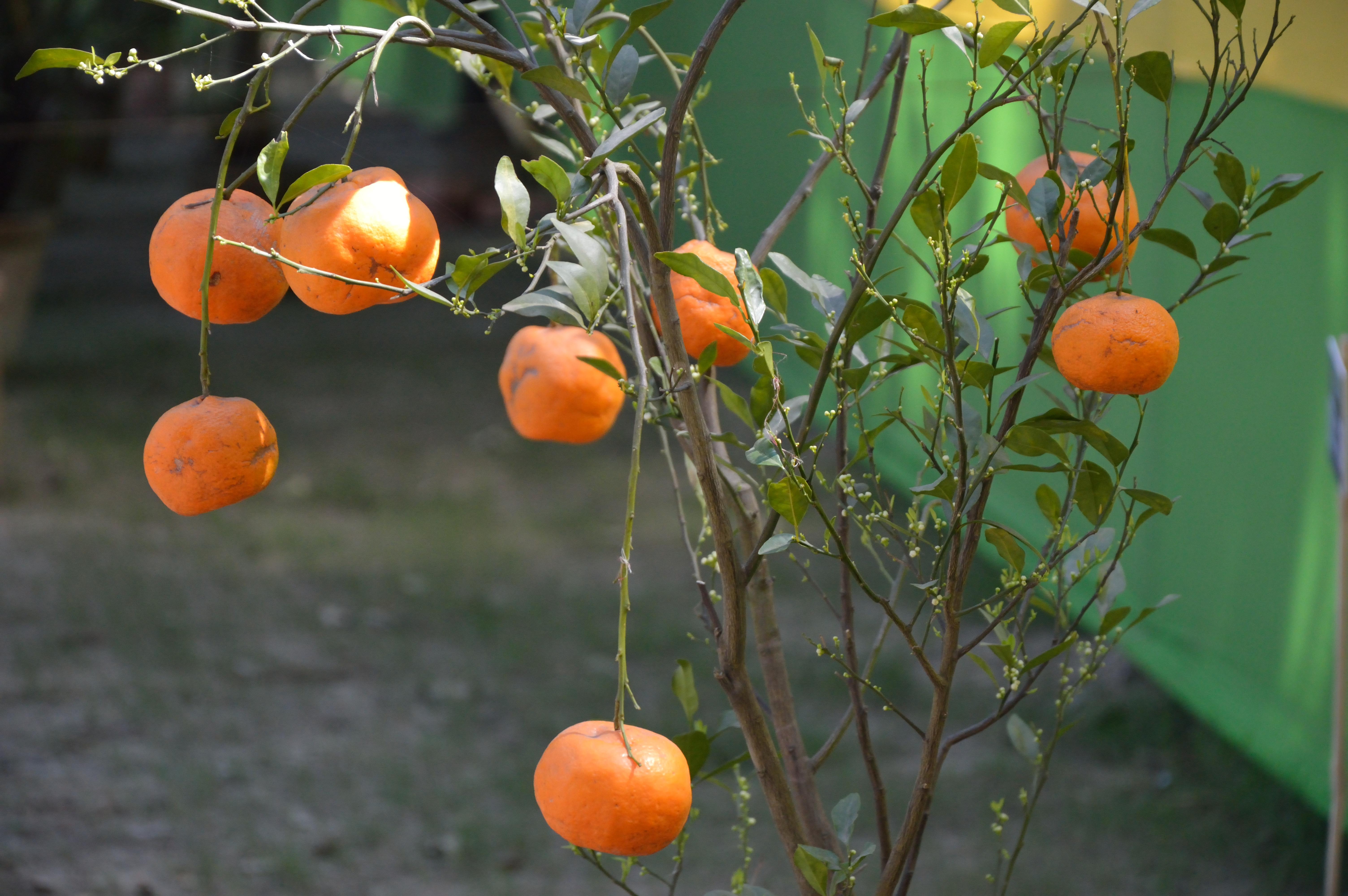 Citrus Sinensis Distribution File:citrus Sinensis Alipore