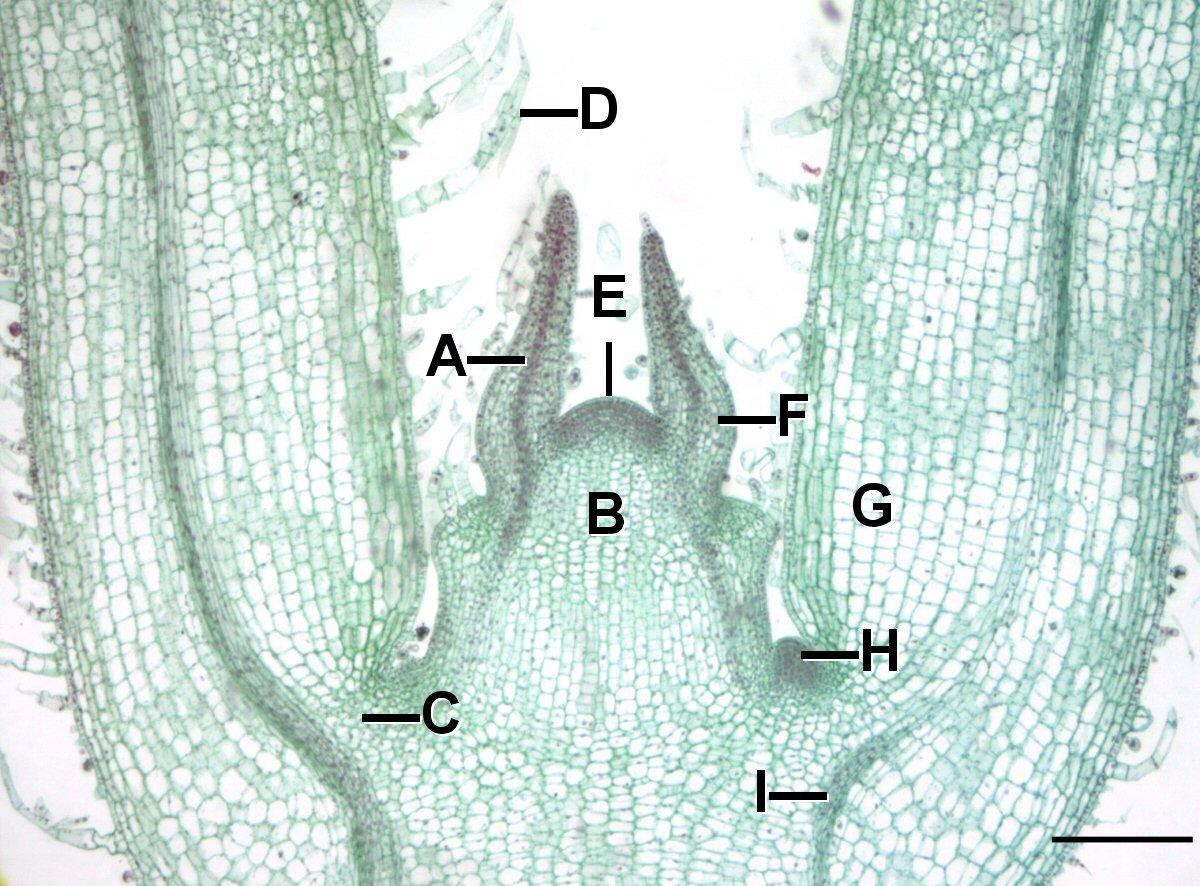 leaf gap wikipedia