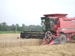 Harvest of Wheat via combine