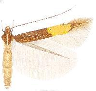 Cosmopterix xanthura.JPG