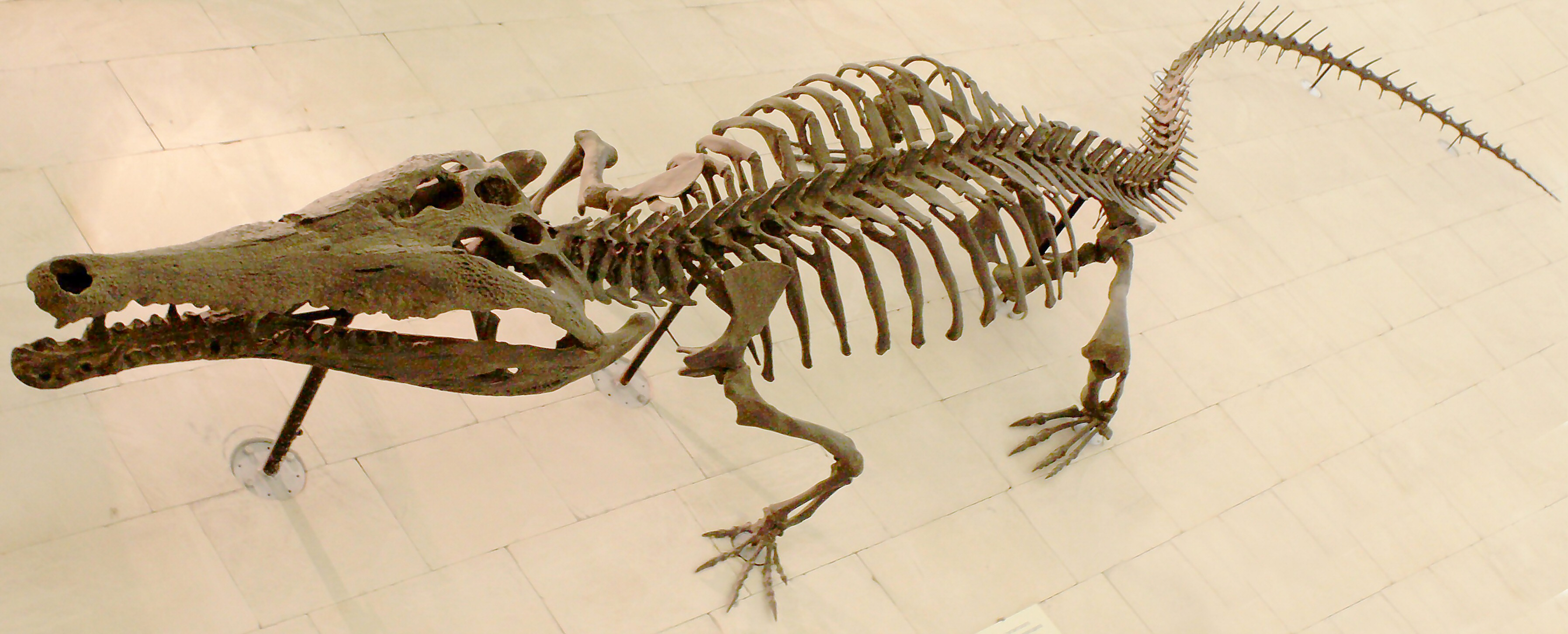 File:Crocodile skeleton.jpg