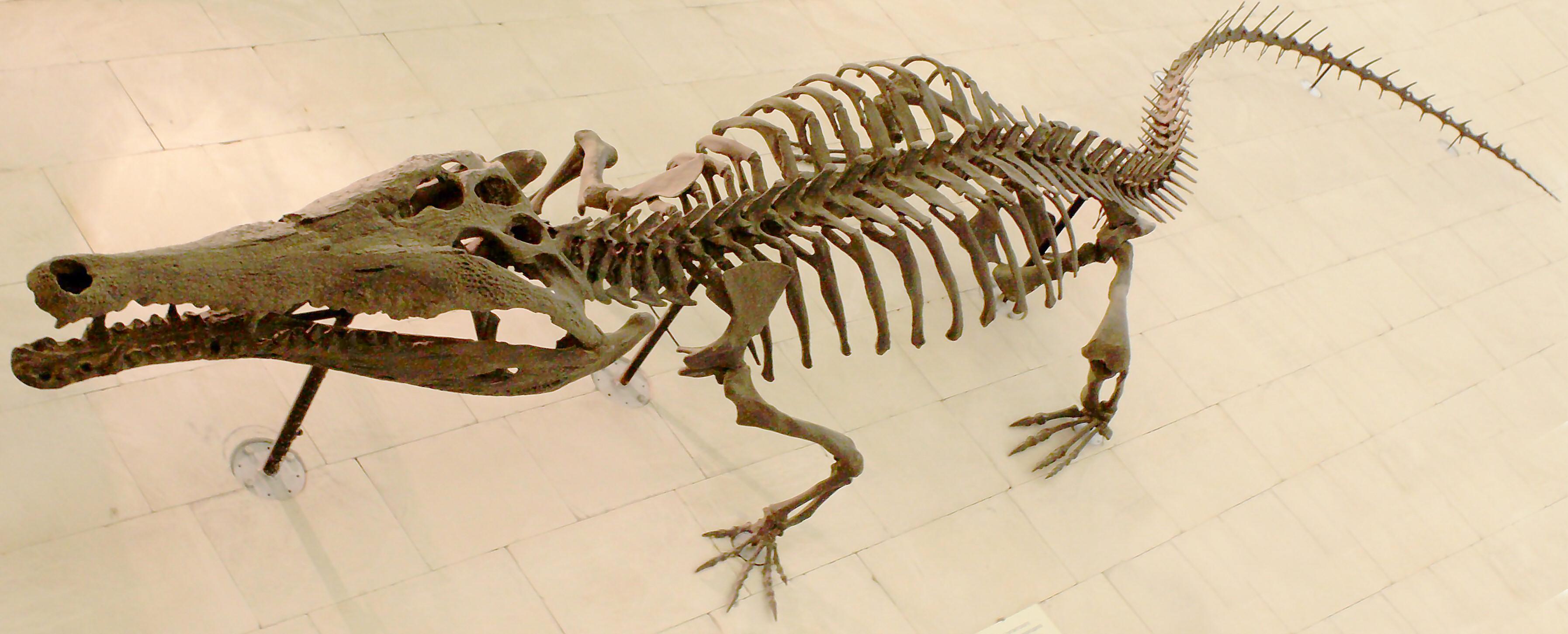 Crocodile skeleton - photo#5