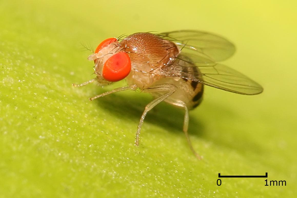 adult drosophila