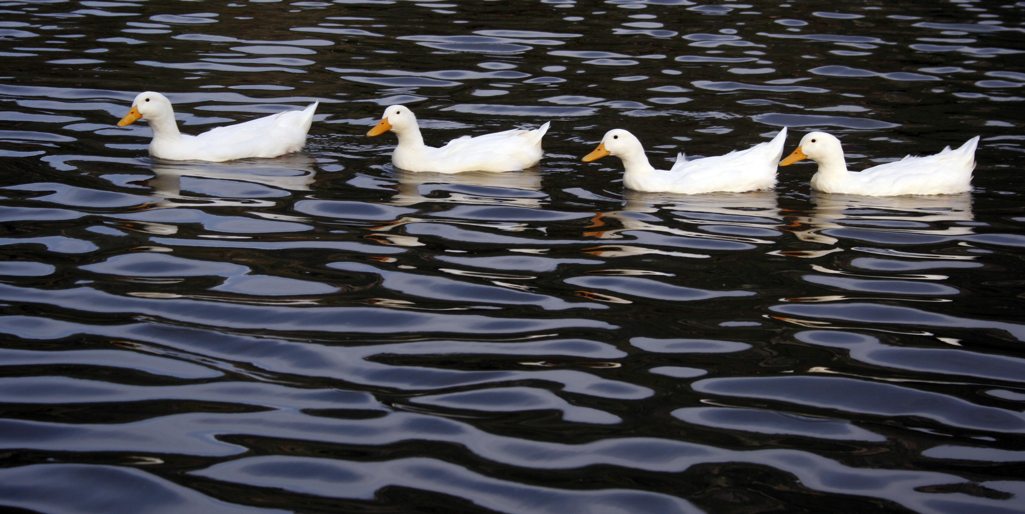 file ducks in a row jpg wikimedia commons