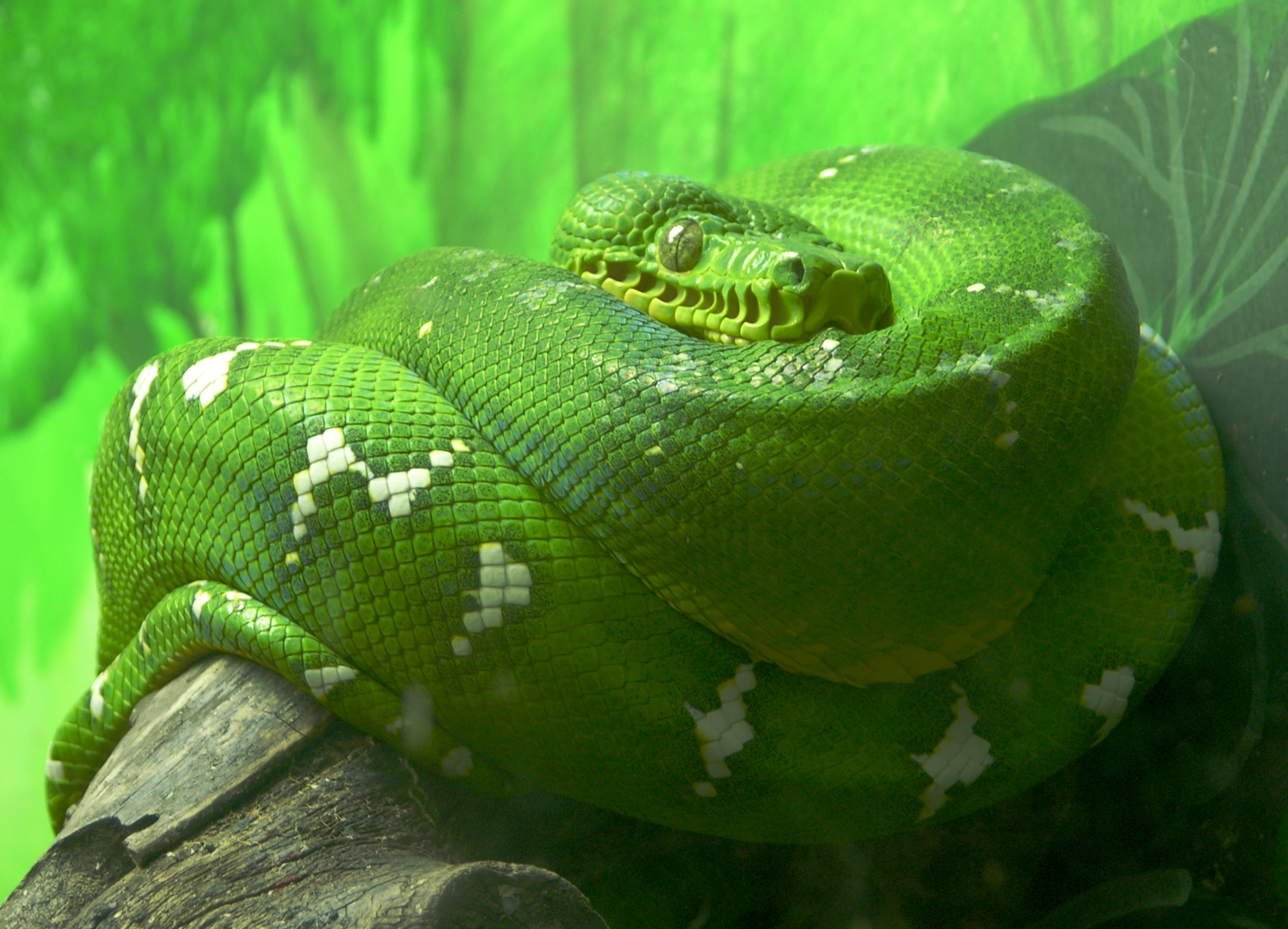 http://upload.wikimedia.org/wikipedia/commons/2/22/Emerald_Tree_Boa_Facing_Forward_2646px.jpg