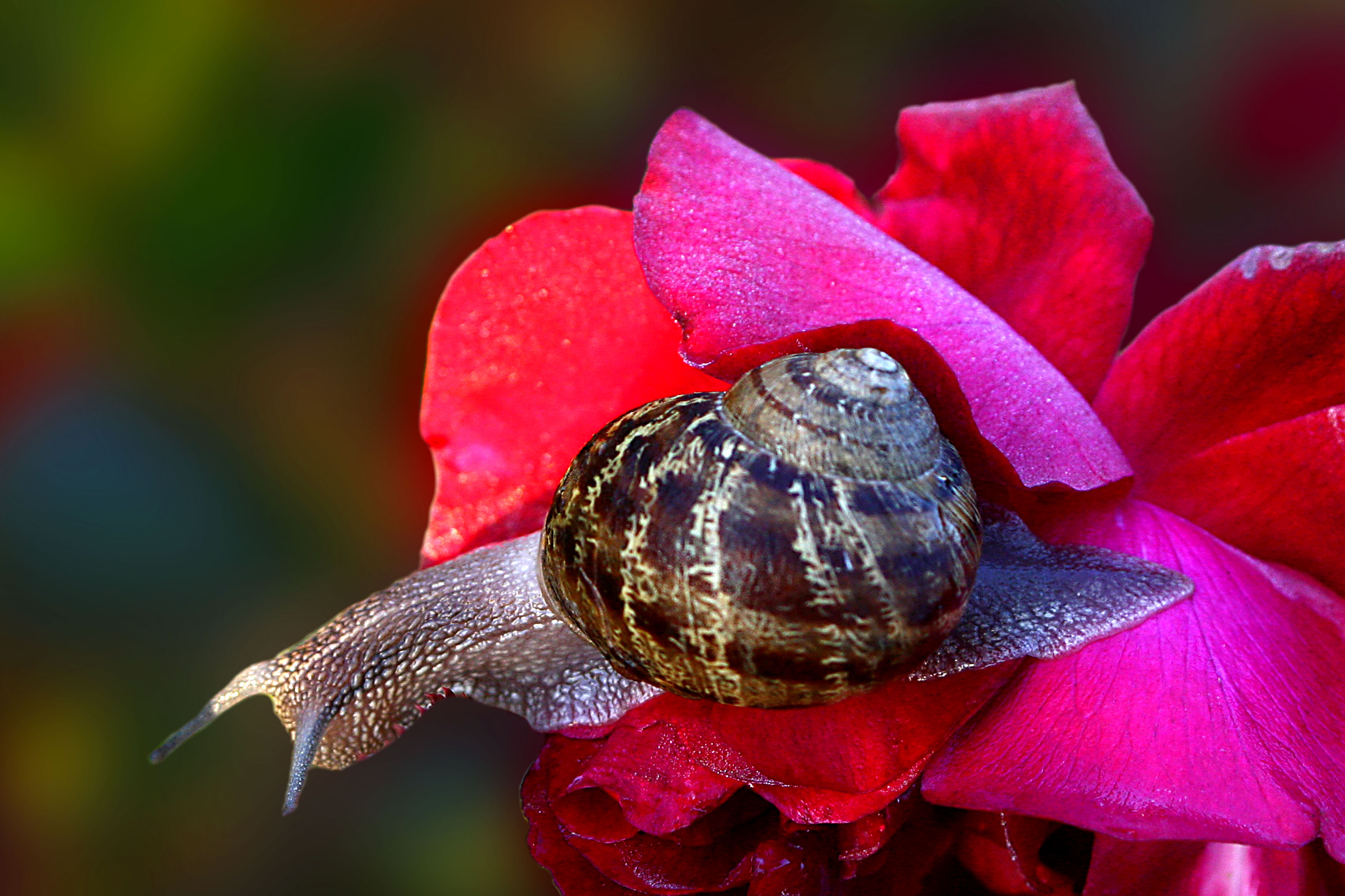 File Escargot Sur Fleur Rouge Jpg Wikimedia Commons