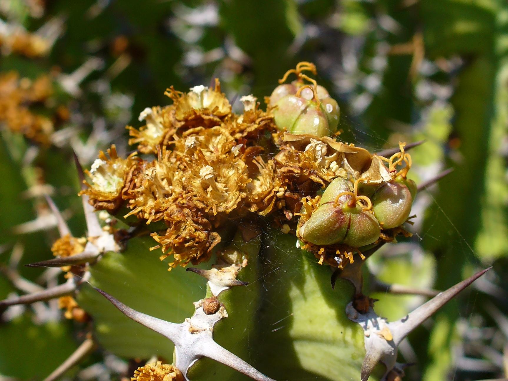 Fruits Canary Islands