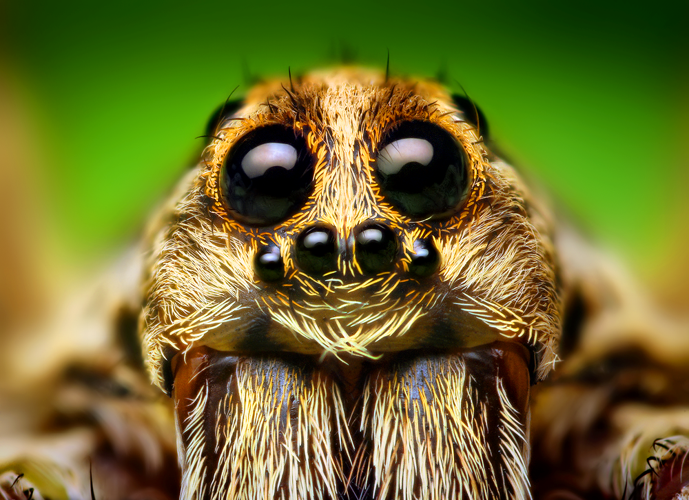 File:Eye Arrangement of a Hogna Wolf Spider.png ... I Am Number Four Six Gif