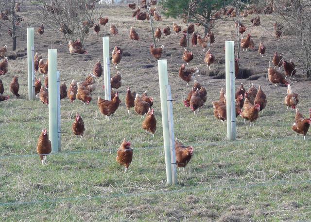 File Free-range chickens at Balmuchy Farm - geograph org uk - 707148    Free Range Farm Chickens