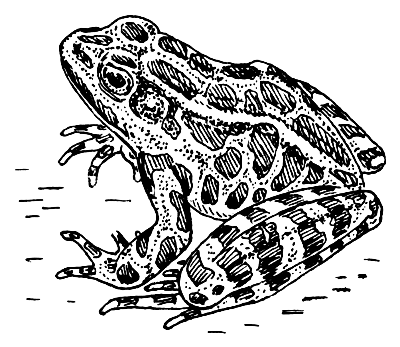 Line Drawing Frog : File frog psf wikimedia commons