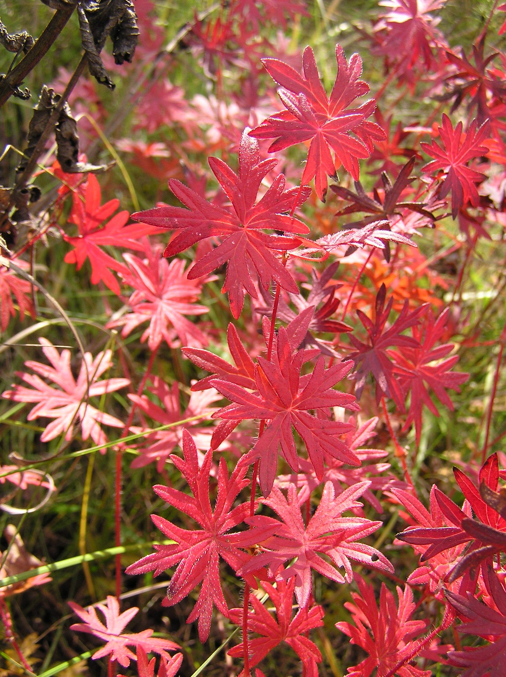 file geranium sanguineum fall foliage wikimedia. Black Bedroom Furniture Sets. Home Design Ideas