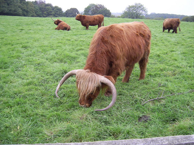 Highland Cattle - geograph.org.uk - 286806