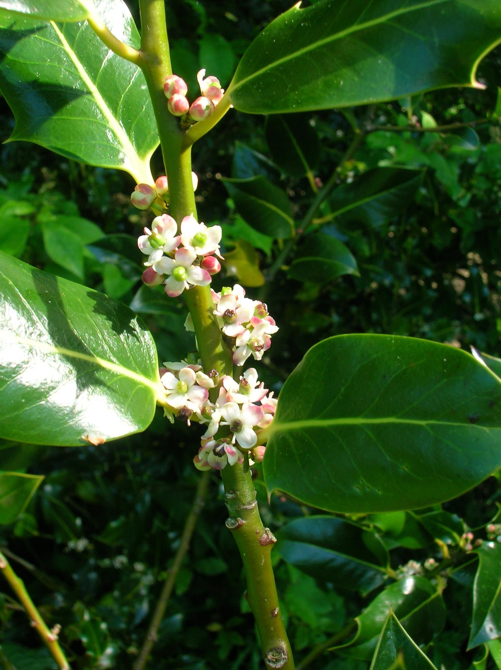 File Holly Flower JPG Wikimedia mons