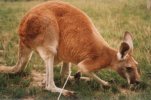 Rotes Riesenkänguru – Wikipedia