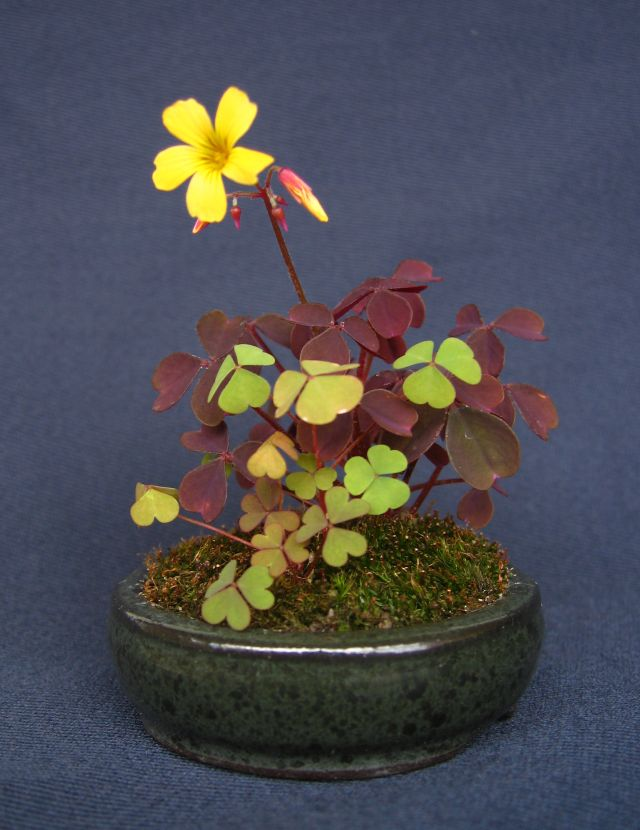 Kusamono Oxalis in flower 16 July 2008.jpg