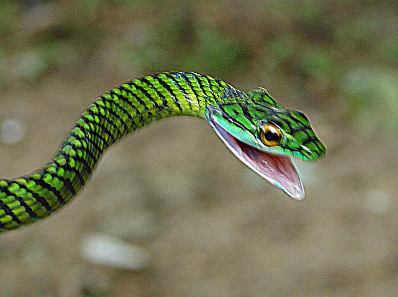 File:Leptophis ahaetulla, a Parrot Snake.jpg - Wikimedia