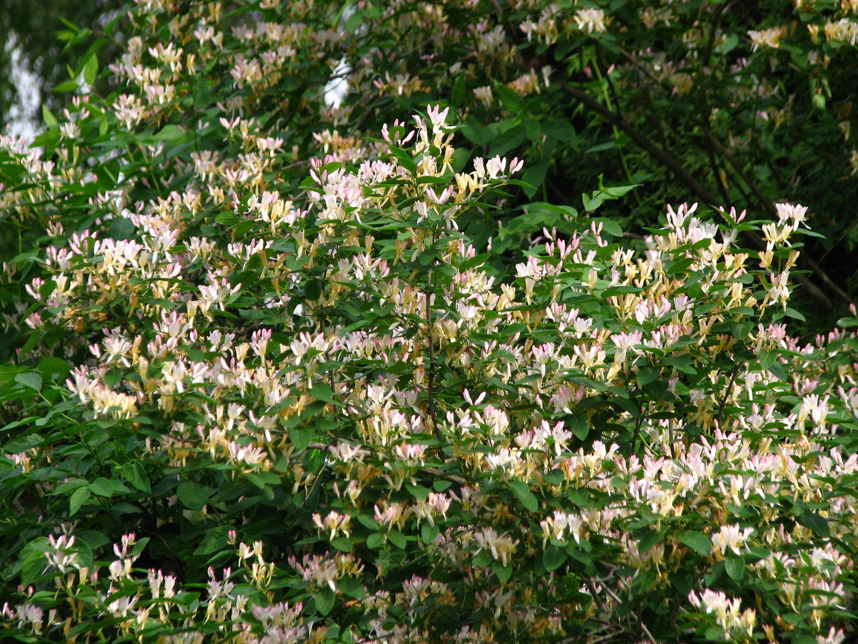 File:Lonicera sp. blooming 02.JPG - Wikimedia Commons