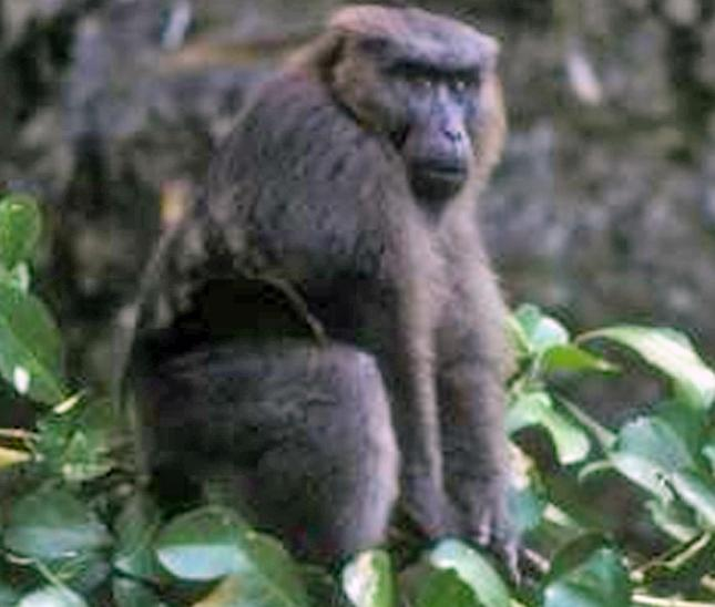 https://upload.wikimedia.org/wikipedia/commons/2/22/M%C3%A2le_macaque_maure_%28Macaca_maura%29.jpg
