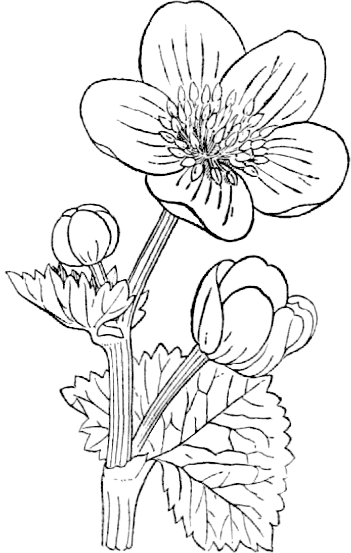 File Marsh Marigold Medicinal Herbs Poisonous Plants 067a 27 Png Wikimedia Commons