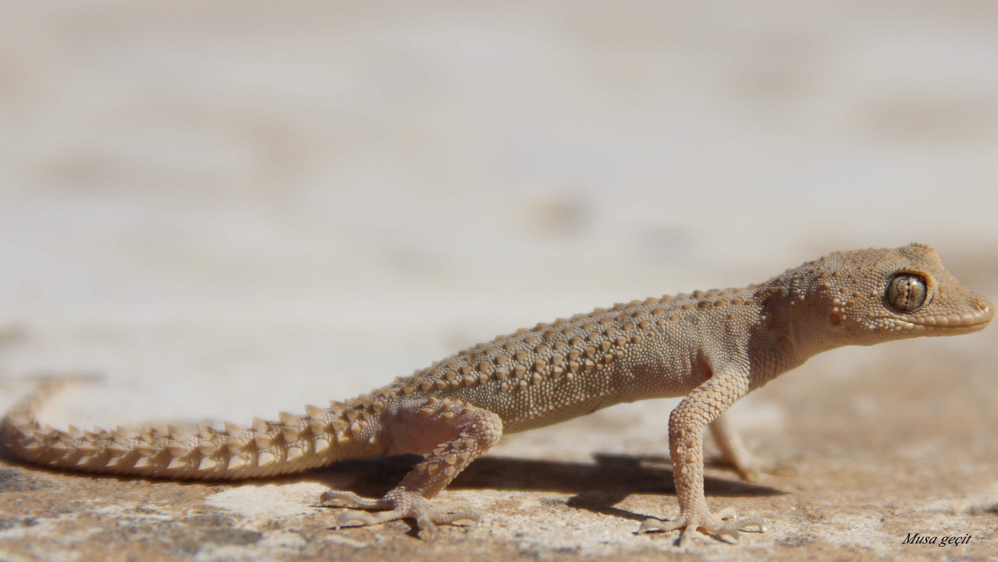 Mediodactylus_heterocercum.jpg