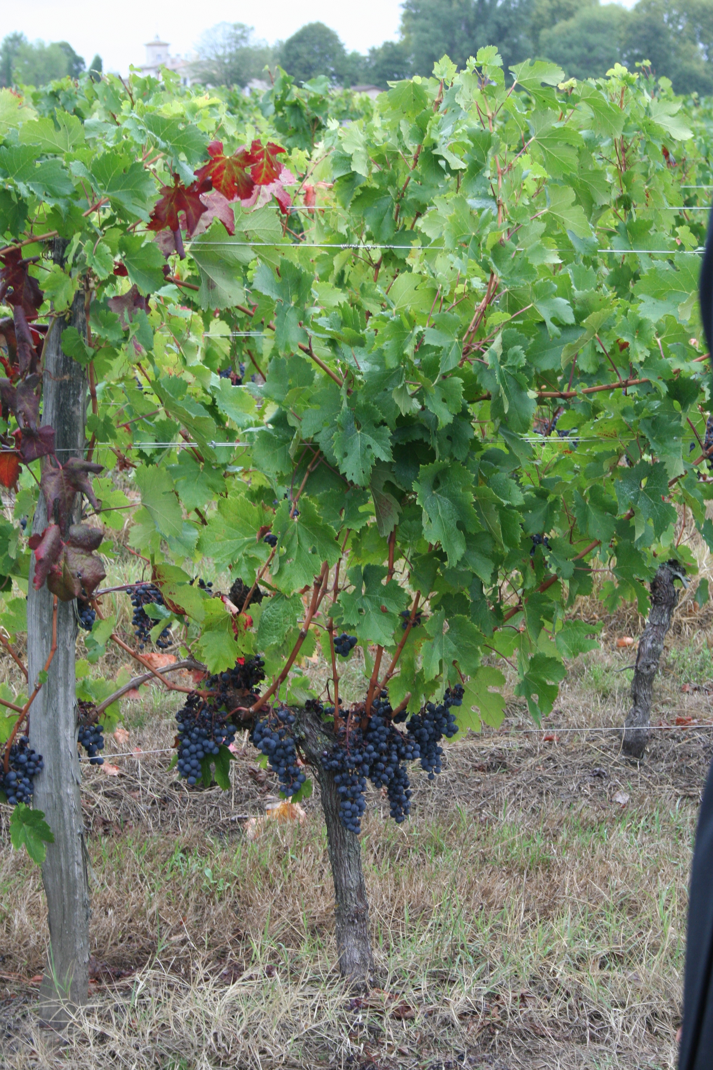 File Merlot Grapes At Chateau Le Bon Pasteur Pomerol Jpg