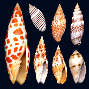 Mitridae family of molluscs