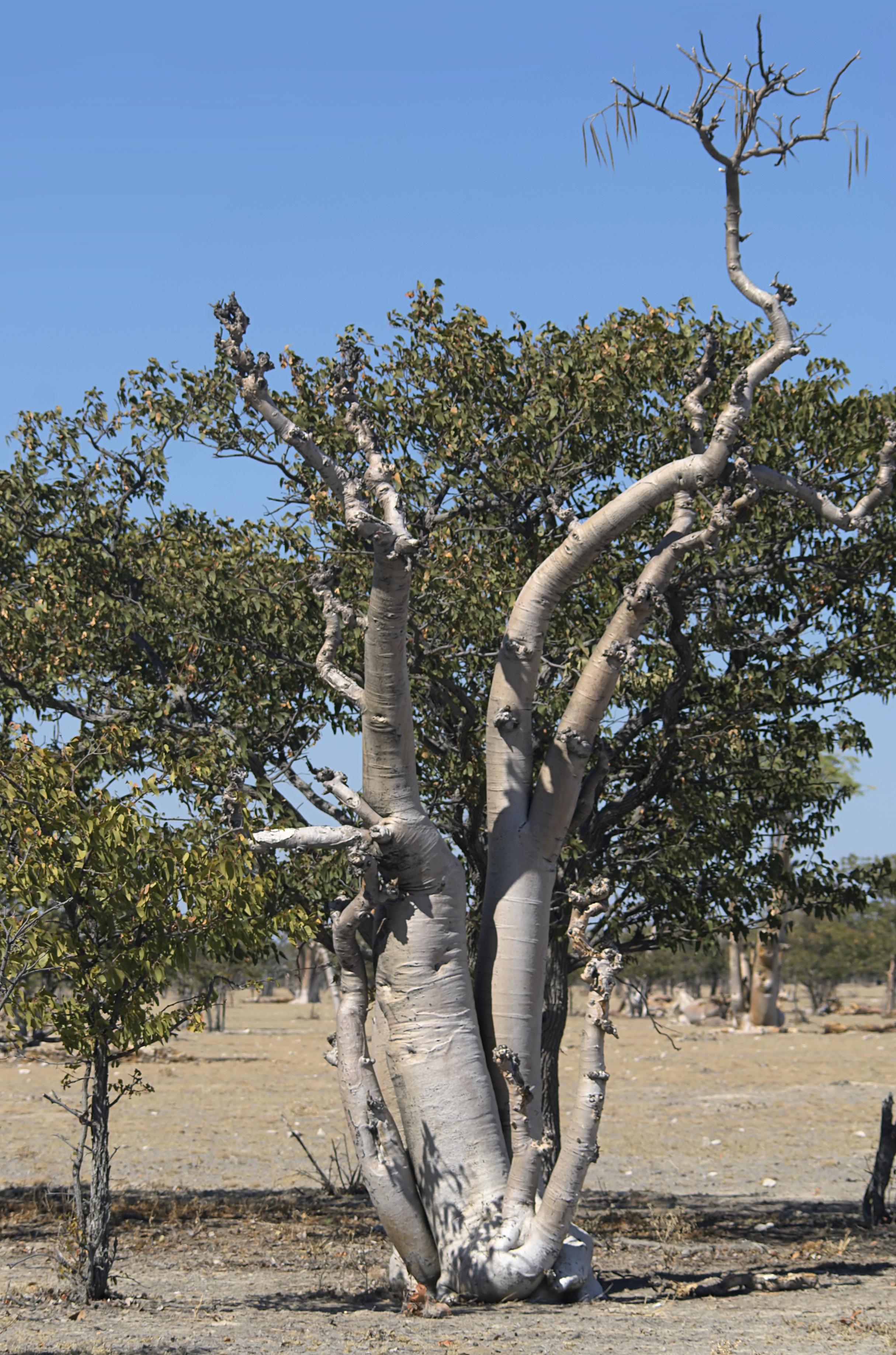 Moringa - Wikipedia