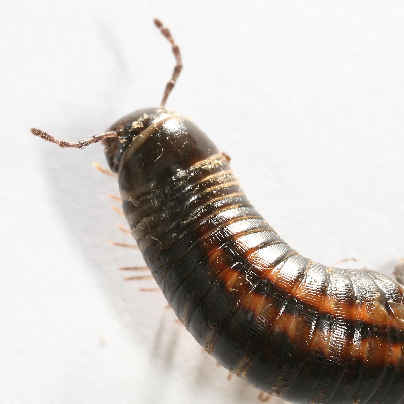 description myriapoda millipede