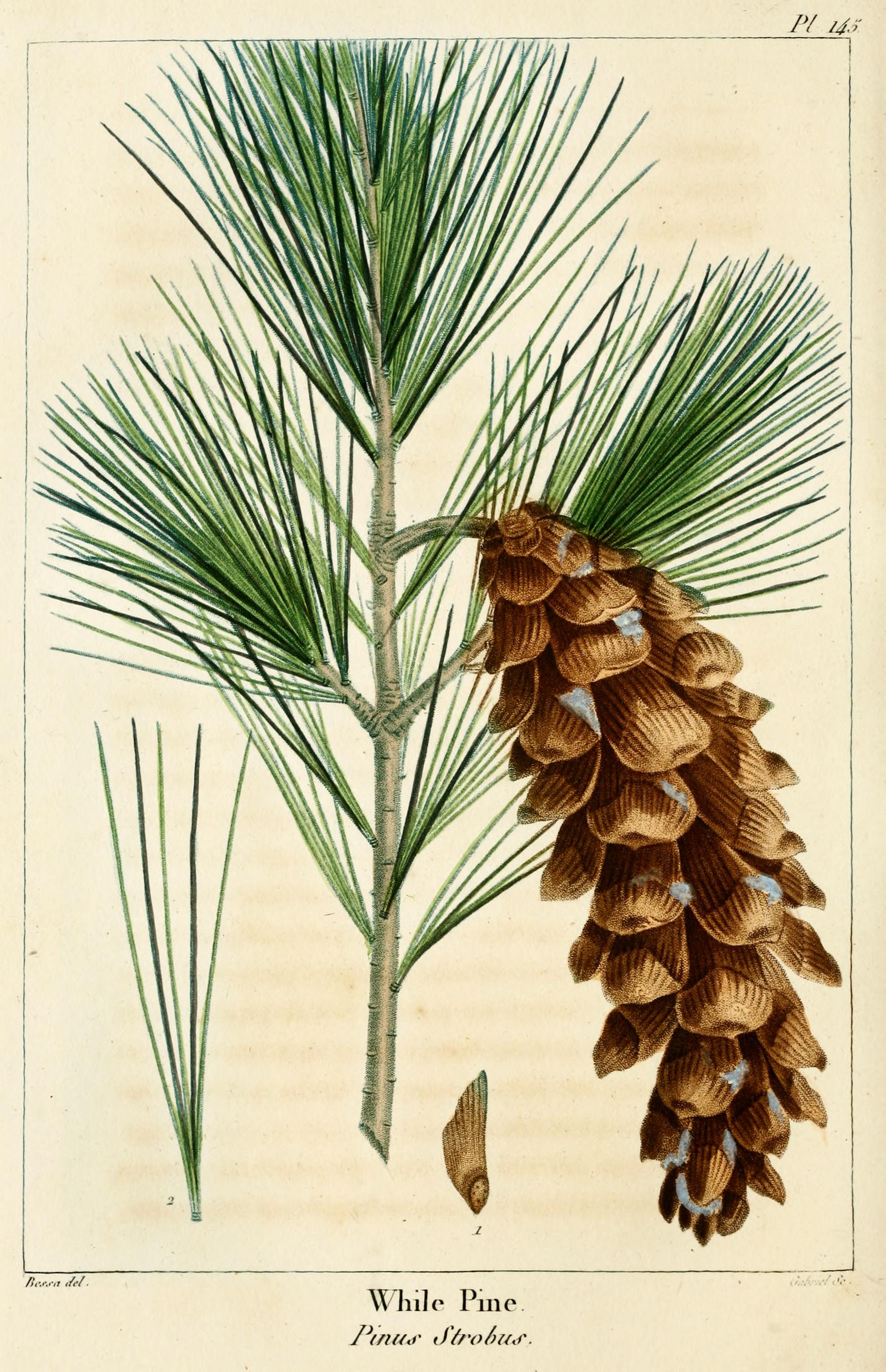 Pinus  Wikipedia