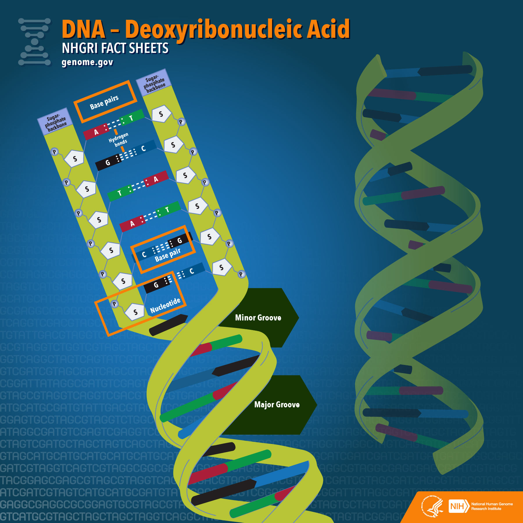 an introduction to dna or deoxyribonucleic acid Dnaintroduction: what is dna dna (deoxyribonucleic acid) • • • a complex molecule containing all necessary information to build and maintain an.