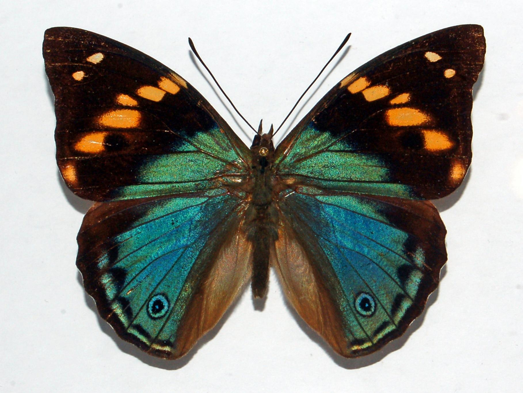 Nymphalinae