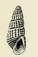 <i>Odostomia effusa</i> species of mollusc