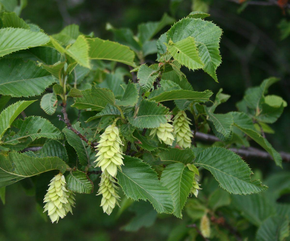 Europäische Hopfenbuche (Ostrya carpinifolia)