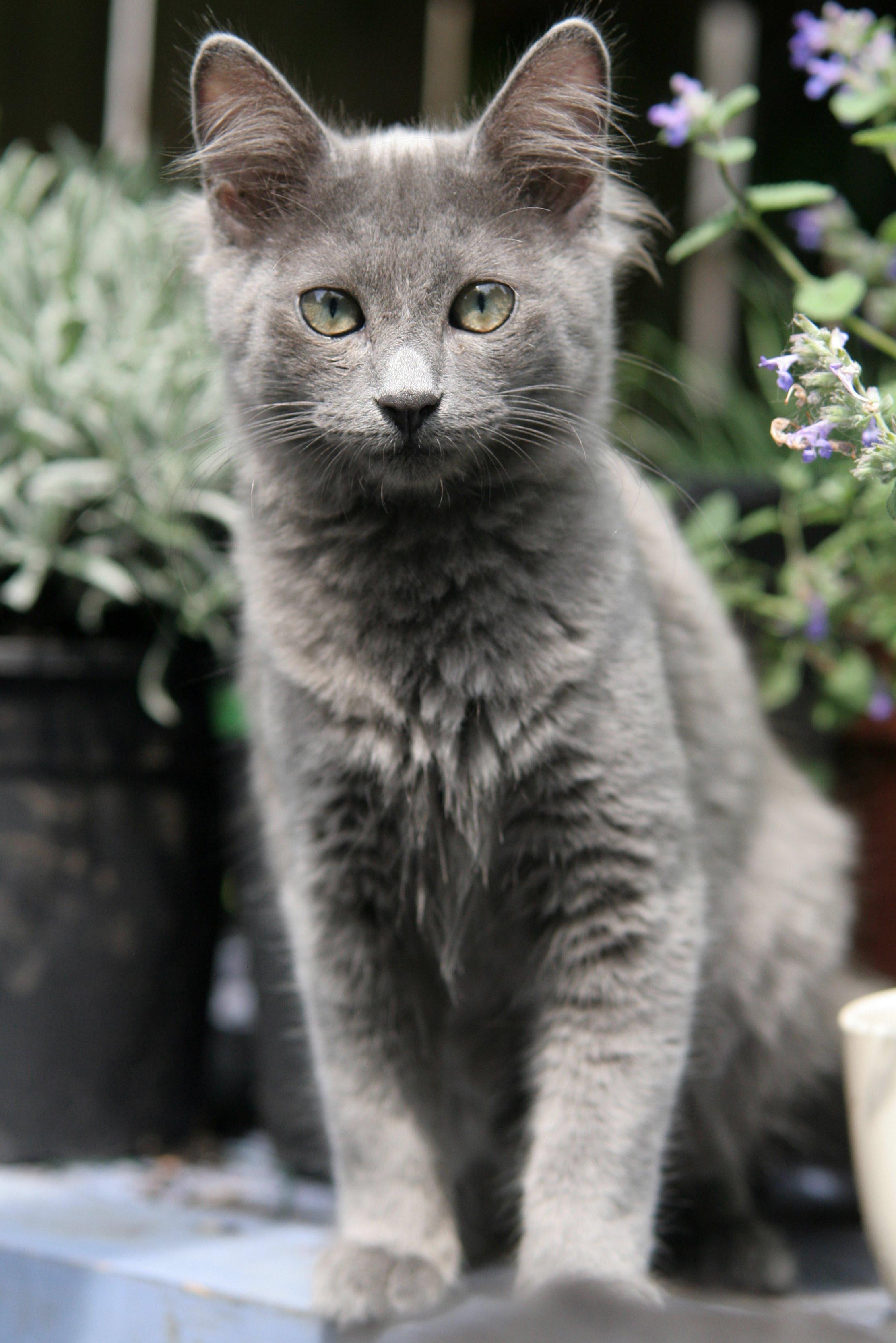 chat bleu russe prix