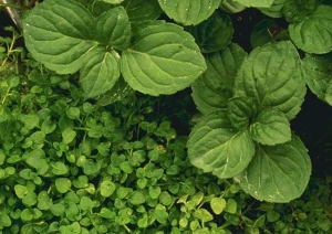 Peppermint and Corsican mint plant (cropped) P...