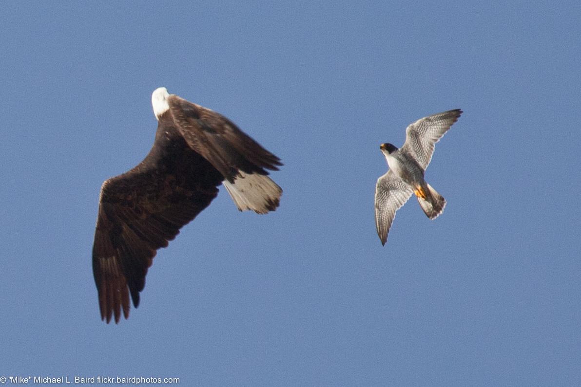 Peregrine_Falcon_(Falco_peregrinus),_def
