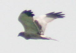 Pied Harrier I2 IMG 9660 (crop).jpg