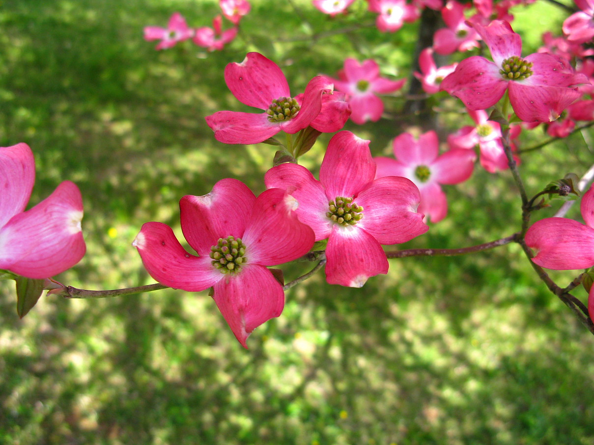 Filepink Dogwood Flower West Virginia Forestwanderg