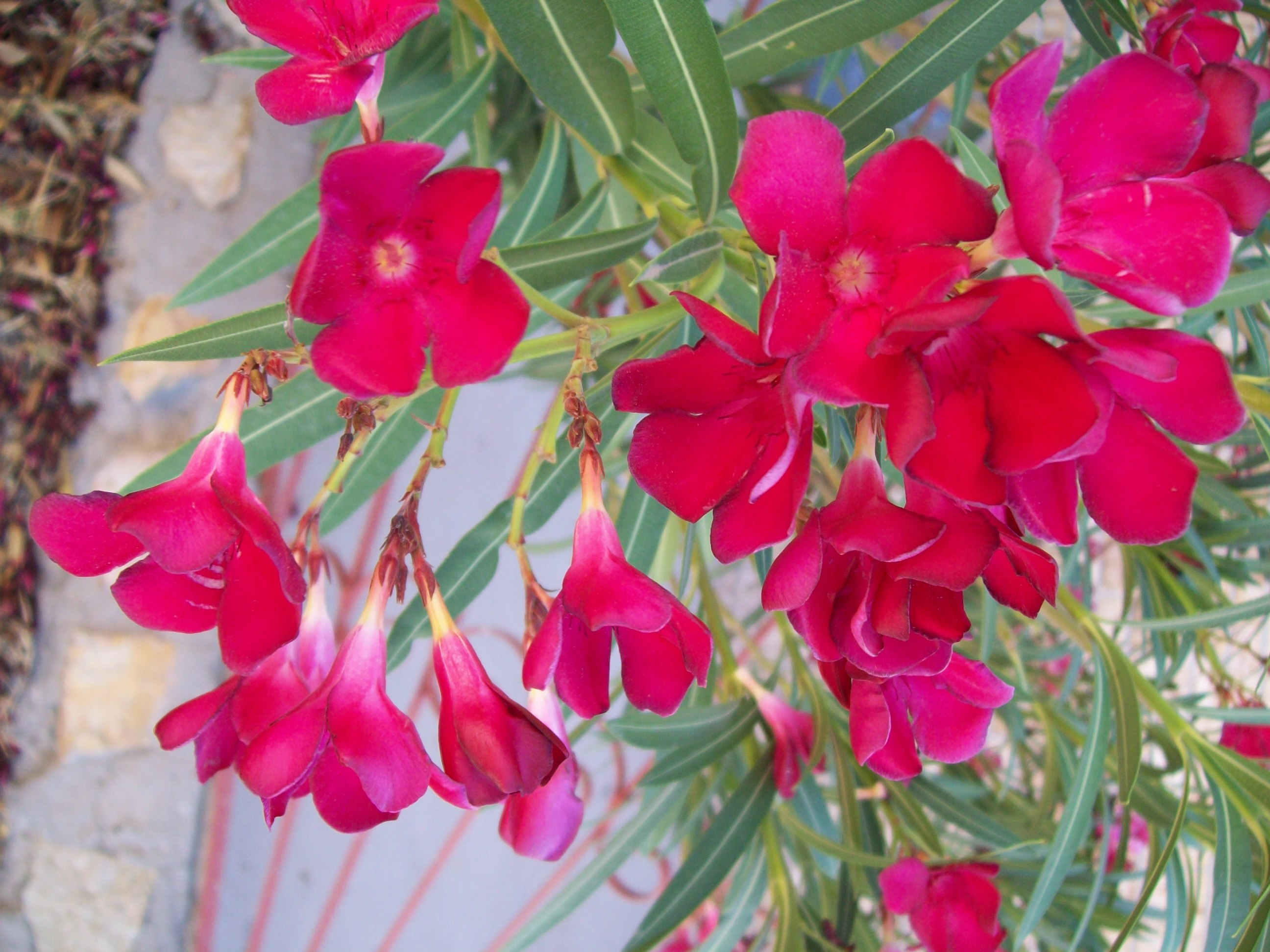 Filepink oleander flower clusterg wikimedia commons filepink oleander flower clusterg mightylinksfo