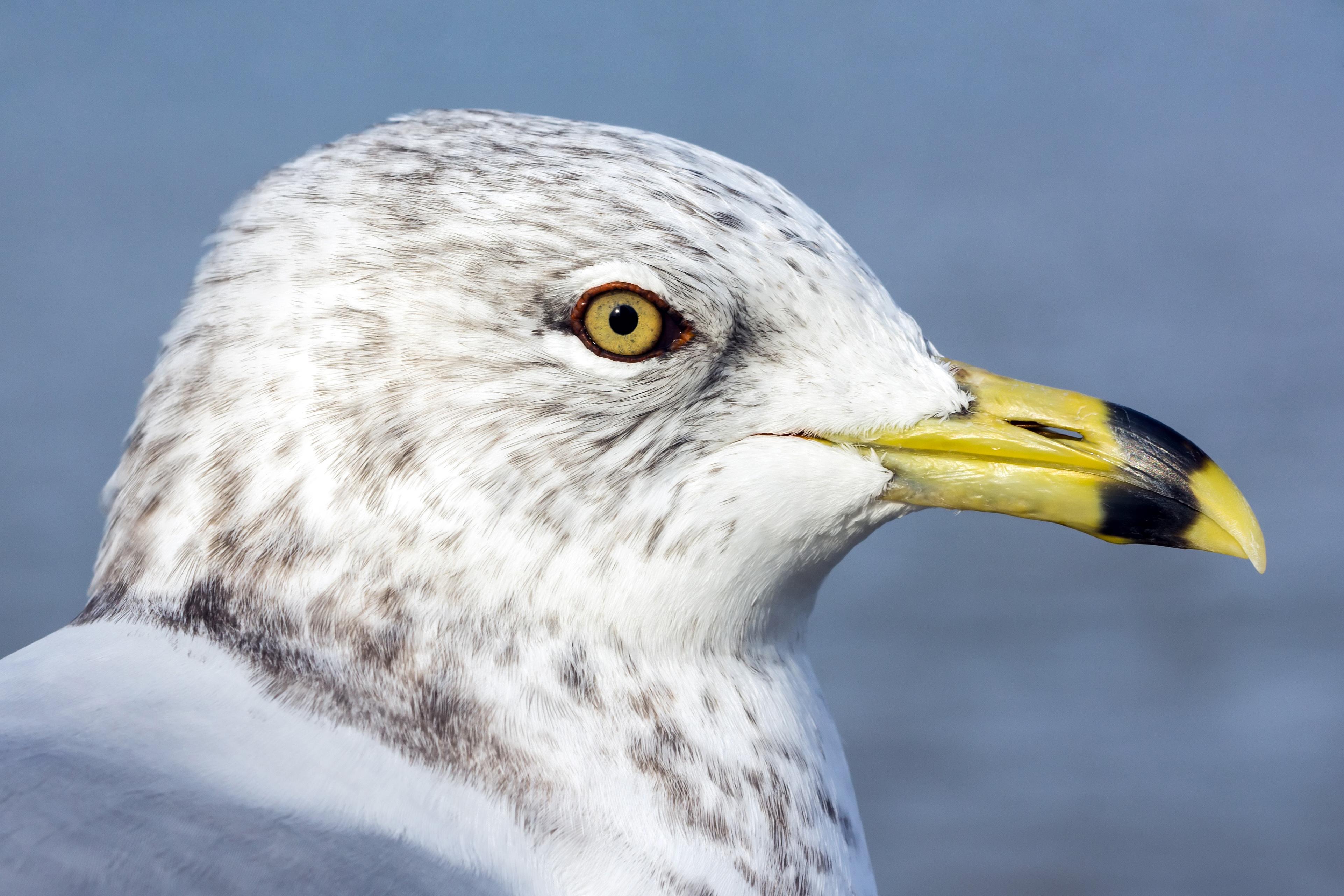 Portrait of Ring-billed gull (Larus delawarensis) in winter plumage, Windsor, Ontario, 2014-12-07