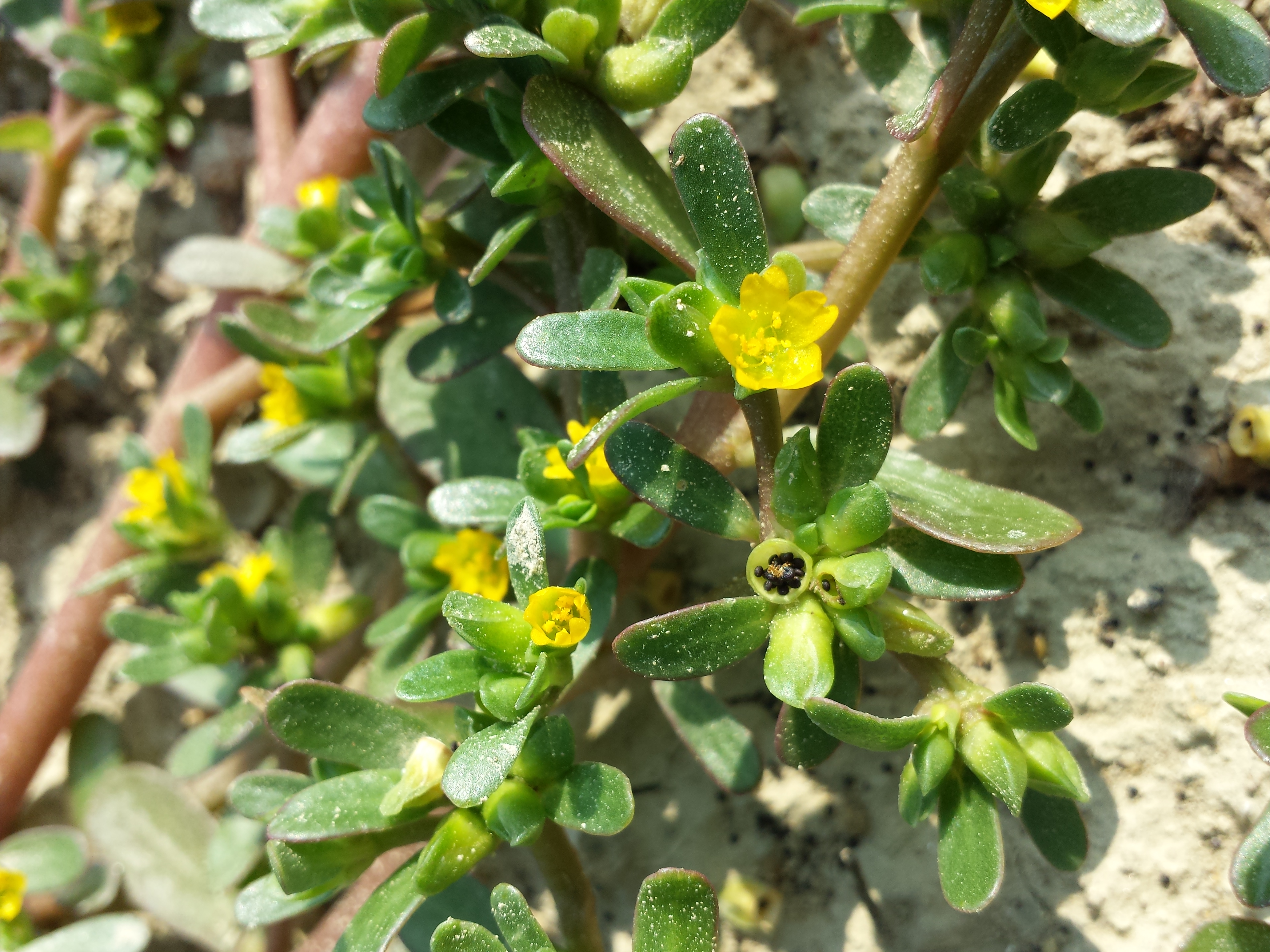 Image result for PORTULACA OLERACEA