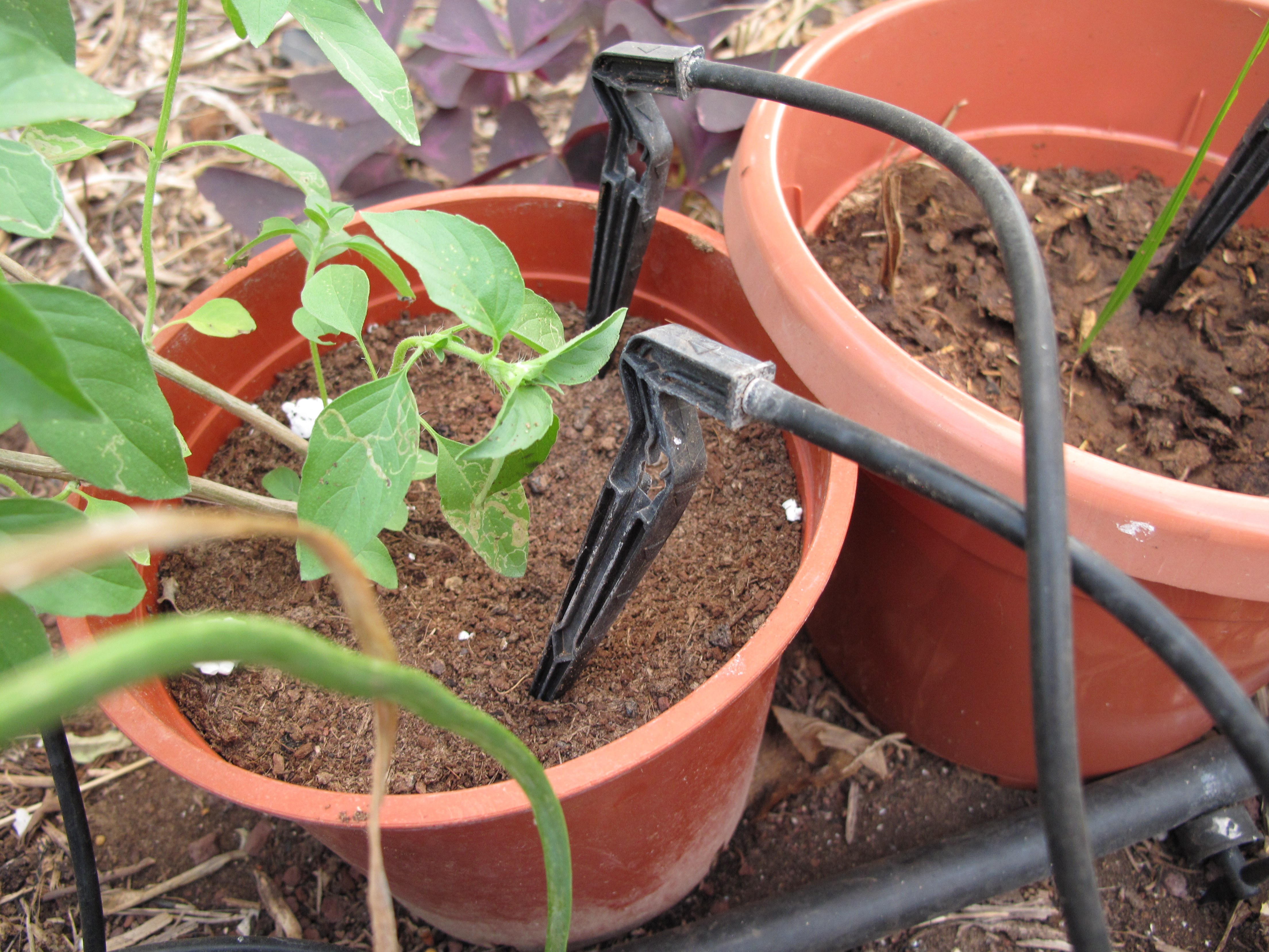 File Rishpon Shefa Farm Drip Irrigation At Work Jpg
