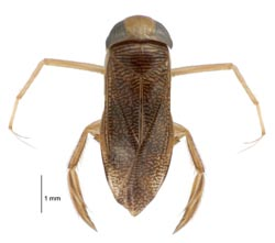 a water boatman on the white background