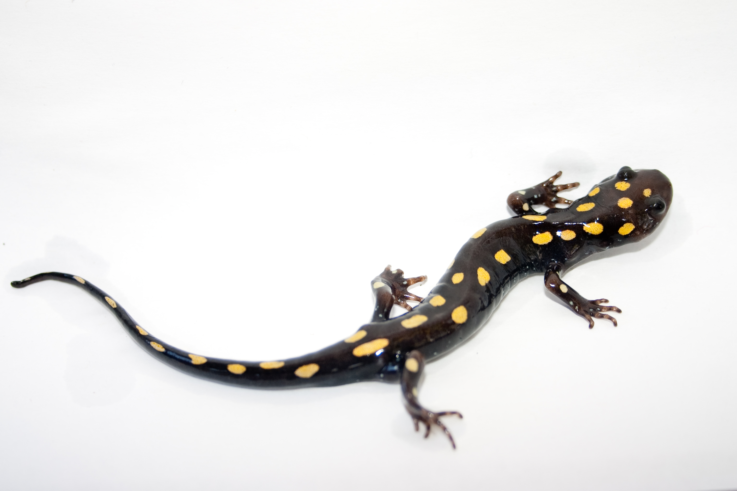 File:Spotted Salamander 3.jpg - Wikimedia Commons