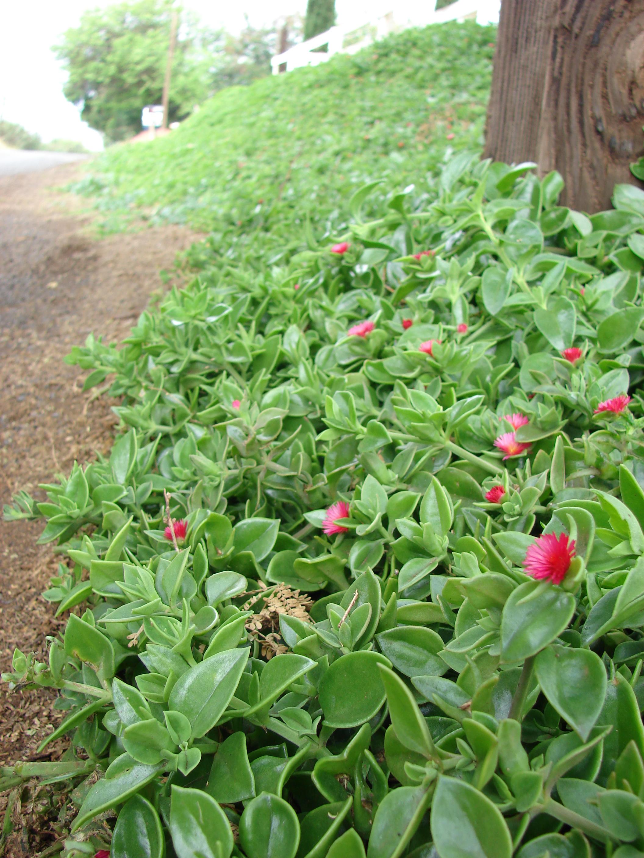 File starr 070313 5582 aptenia - Plantas colgantes de exterior ...