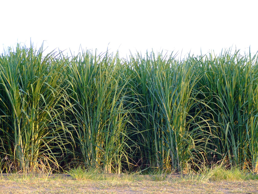 What does sugar cane look like