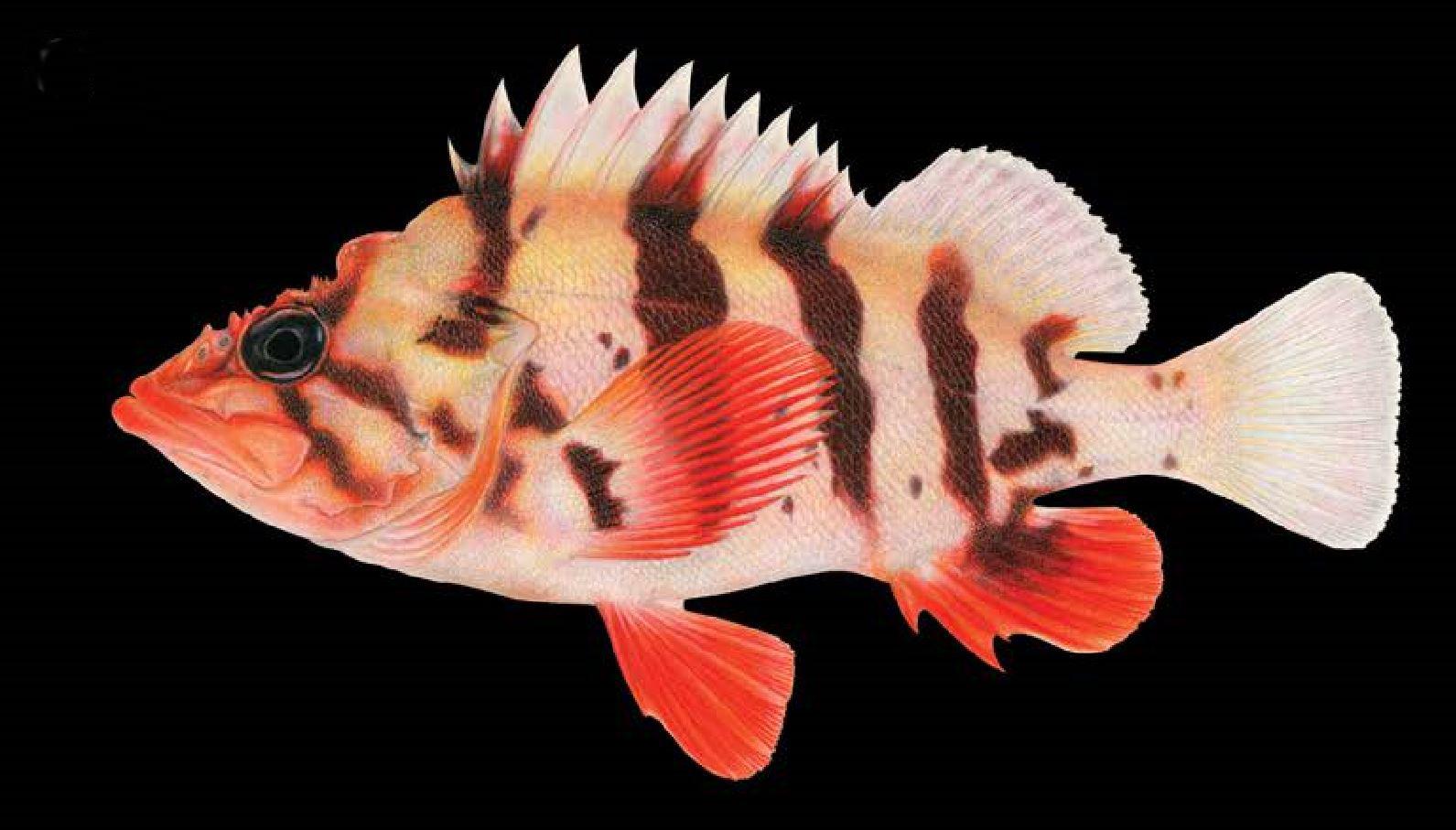 List of fishes of the Salish Sea - Wikipedia